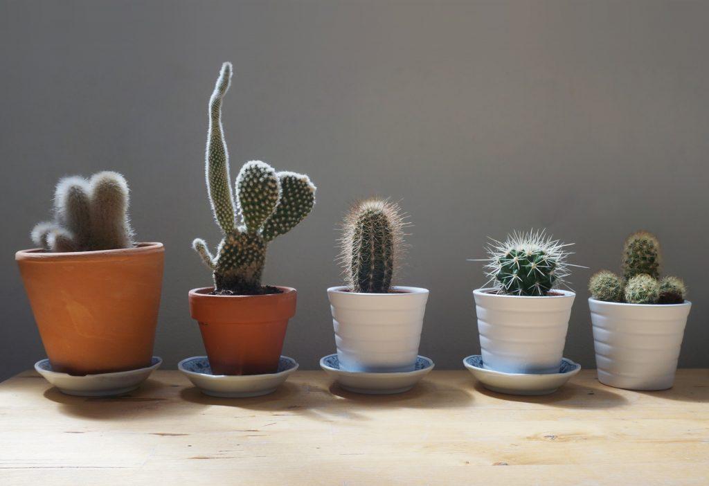 cactus-1566184_1920